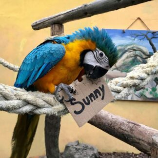 Adopteer Blauwgele ara Sunny